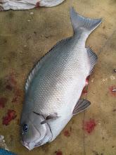 Photo: 船頭さんのオナガ! 2kgぐらい。