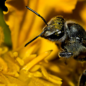 Honey Bee by Arafat Chowdhury - Animals Insects & Spiders ( honey bee collection of honey to gather it for the quuen bee very active insect )