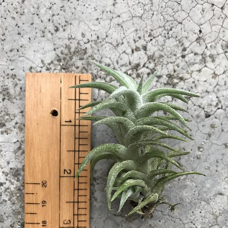 Air Plant - Tillandsia ionantha v. vanhyningii small