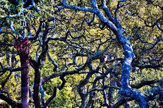 Photo: the oaks across the street