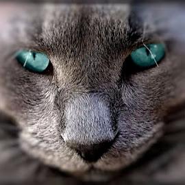 Leo by Linda Czerwinski-Scott - Animals - Cats Portraits ( cat, feline, portrait, photography, animal,  )