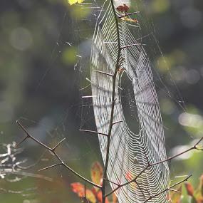 Amazing Spiderweb  by H Scott Burd - Nature Up Close Webs