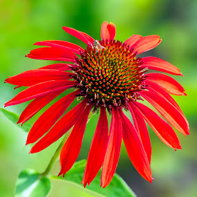 Red, She Said by Joan Sharp - Flowers Single Flower ( red, green background, flowers, bee, daisy,  )
