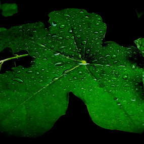 morning dew drops by Manjunath Nagesha Rao - Nature Up Close Trees & Bushes