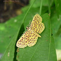 Red-Spotted SweetPottato Moth