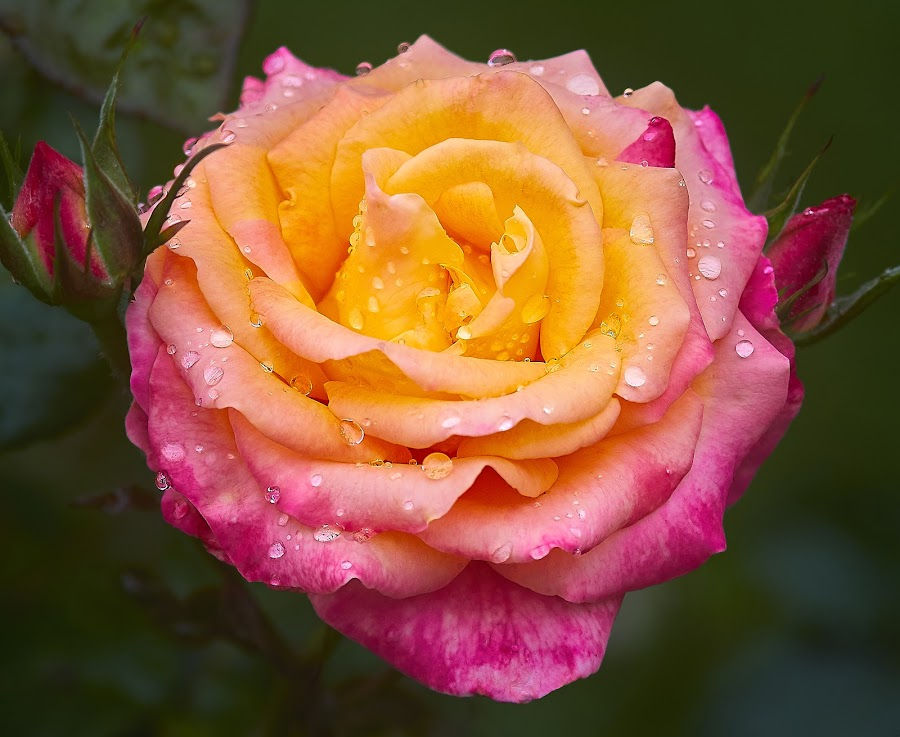 0 Rose 9827~ by Raphael RaCcoon - Flowers Flower Gardens