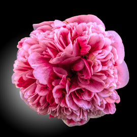 DNI camellia 01 by Michael Moore - Flowers Single Flower (  )
