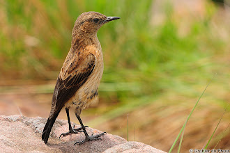 Photo: Buff-streaked Chat (Afrikaans: Bergklipwagter), Marakele National Park, South Africa. 1. #birdloversworldwide +BIRD LOVERS Worldwide +Robert SKREINER +Walter Soestbergen  2. #hqspbirds  +HQSP Birds  curated by +Marina Versaci  3. #birdspecieslink  4. +10000 PHOTOGRAPHERS around the World  5. +PixelWorld