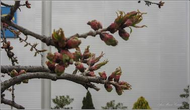 Photo: Cires japonez (Prunus Surrulata) - din Turda, Piata 1 decembrie 1918, spatiu verde - 2019.04.06