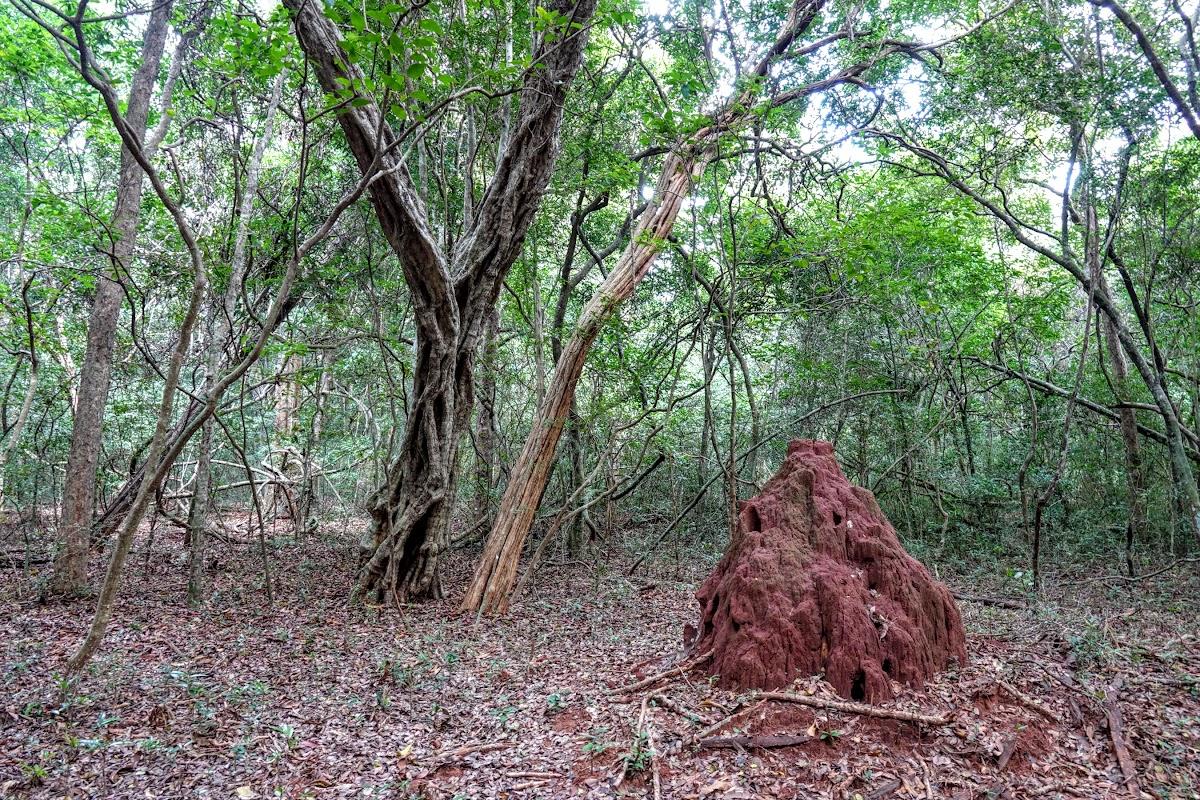 Sri. Lanka Wilpattu National Park . Termite in the forest