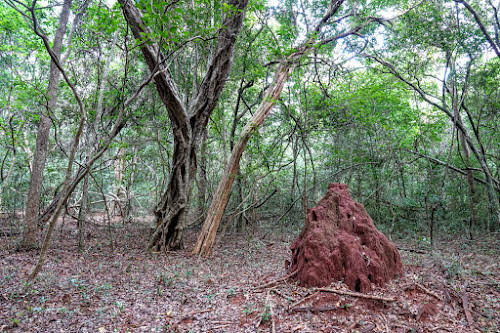 Sri. Lanka Wilpattu National Park . Termite in the forest