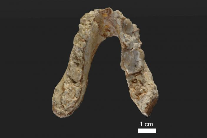 The lower jaw of the 7.175 million year old Graecopithecus freybergi (El Graeco) from Pyrgos Vassilissis, Greece is shown in this handout provided May 19, 2017. Courtesy of Wolfgang Gerber, University of Tübingen/Handout via REUTERS