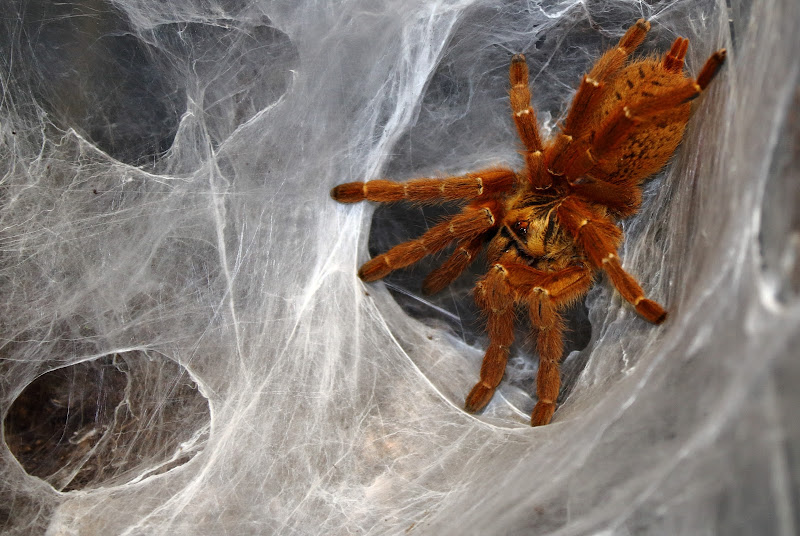 Aracnofobia: Difesa del ragno di Anastasia