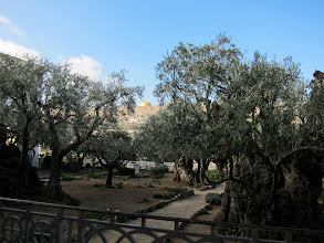 Photo: Some of the olive trees are actually 2000 years old.