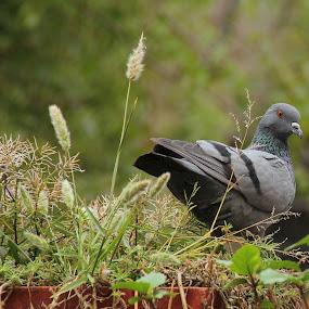 Indian Pigeon by Shubhendu Bikash Mazumder - Animals Birds ( photography )