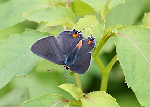 Photo: Gray hairstreak