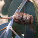 Eucalyptus Stem Gall -female