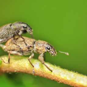 Wevil in Love by Himanshu Jethva - Animals Insects & Spiders ( love, wevil, raavangraphy, macro, sex, dang, couple, india, matting, moonsoon, woods )