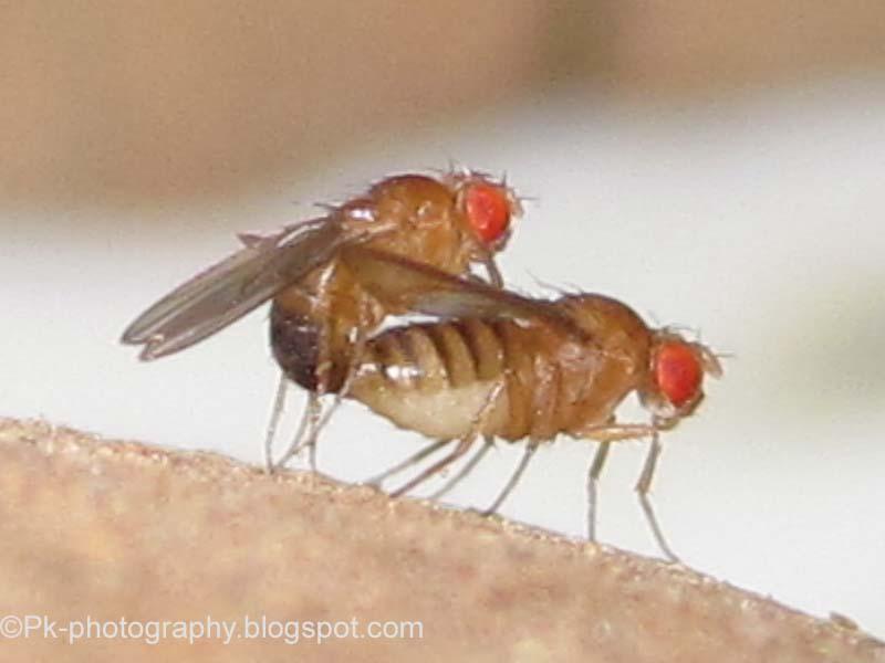 drosophila-melanogaster-mating-pair-2.jpg