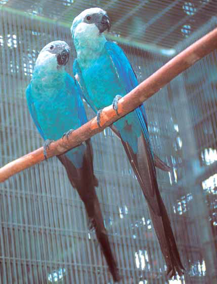 The spix macaw is the rarest macaw and likely no longer exists in the wild