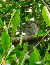 Photo: Sleeping Common Potoo; La Tovara boat ride