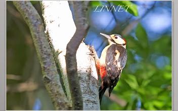 Photo: アカゲラ  キツツキ目 キツツキ科  ( Great Spotted Woodpecker )