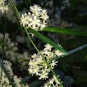 Wild Asparagus Flowers