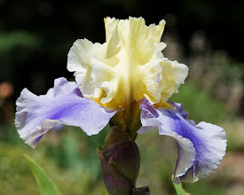 Photo: Blue and cream iris  05/08