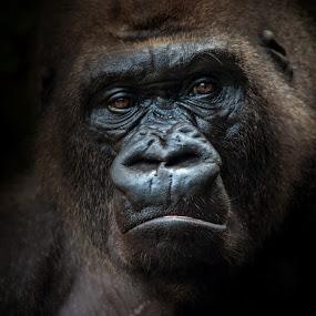 I´m king by BO LED - Animals Other Mammals ( gorila, animal, wildlife )
