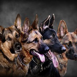 The Pack by Dawn Vance - Digital Art Animals ( animals, dogs, pup, digital art, german shepard, portrait, animal )