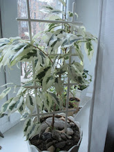 "Photo: Ficus benjamina ""Starlight"""