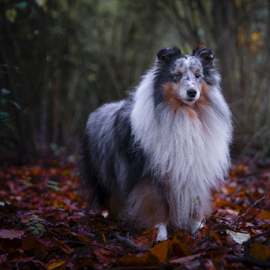 ATUMM  by 'Monique Smit - Animals - Dogs Portraits ( forest, sheltie, animal, dog,  )
