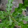 Holly mangrove