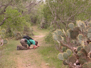 Photo: Looking for Gerstaeckeria Cactus Weevils