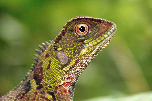 Spot a stunning green lizard while hiking through the Amazon on a Lindblad Expedition.