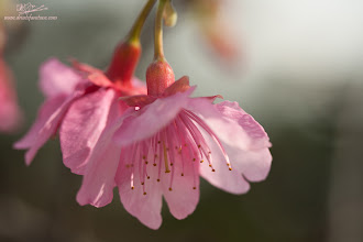 Photo: Cherry Blossom Bells