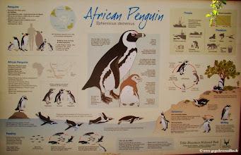 Photo: #020-Les pingouins Africains ou manchots du Cap.