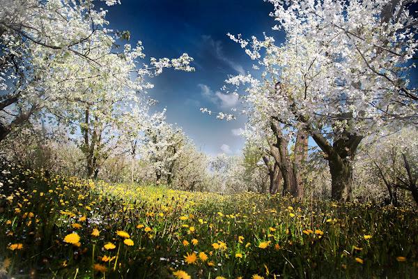 Tra i ciliegi in fiore