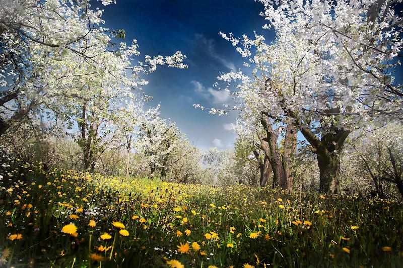 Tra i ciliegi in fiore di davide_giovanni_volpi