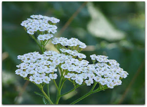 Photo: achilea millefolium ssp. millefolium (Eigentliche Gewöhnliche Schafgarbe, weiss) - Fundort: Friulanische Dolomiten