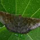 Female Sphacelodes vulneraria