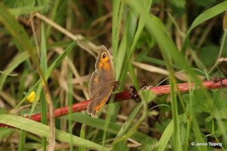 Photo: Gatekeeper butterfly