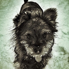 Winter Face by Keith Williams - Animals - Dogs Puppies ( animal snow  )