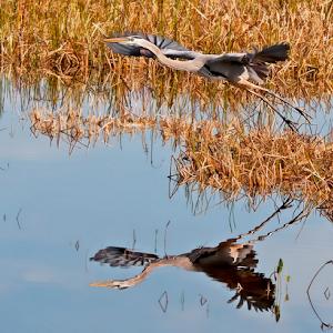 Great Blue Heron 030.jpg
