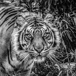 Puna by Garry Chisholm - Black & White Animals ( big cat, garry chisholm, predator, carnivore, tiger, nature, black and white, wildlife )