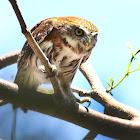 Ferrugenous Pigmy Owl