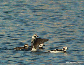 Photo: Long-tailed Ducks, Victoria Harbor, Vancouver Island
