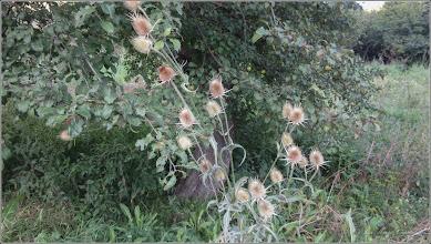 Photo: Varga ciobanului (Dipsacus fullonum) - de la Cheile Turzii - 2018.08.15