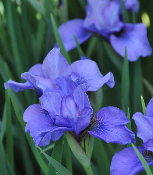 Photo: Iris siberica 'Reprise'