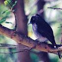 Abyssinian slaty flycatcher